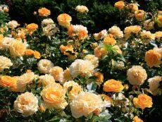 Rosa 'Anisade®'
