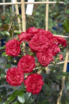 Rosa 'Luisa®'