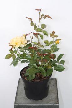 Róża 'Anisade®'