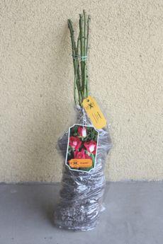 Róża 'Acapella®'