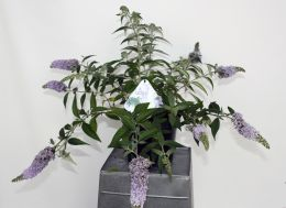 Buddleja 'Lilac Chip®'