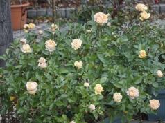 21 listopada a róża 'Anisade' nadal kwitnie