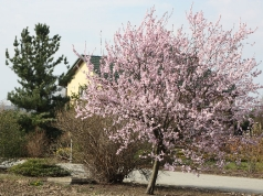 Prunus 'Pissardii'