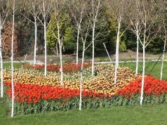 Tulipany w Mnikowe
